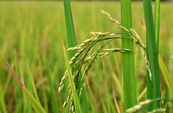 Giovani grani tailandesi del riso con le gocce di acqua nel campo verde Fotografia Stock