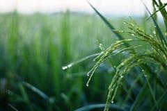 Giovani grani tailandesi del riso con le gocce di acqua nel campo verde Fotografia Stock Libera da Diritti