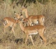 Giovani impalas in selvaggio Fotografie Stock Libere da Diritti