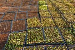 Giovani lattughe organiche Fotografia Stock Libera da Diritti
