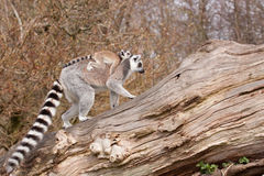 Giovani lemure catta Fotografie Stock