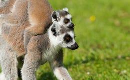 Giovani lemure catta sulla madre Immagini Stock