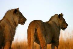 Giovani leoni maschii Immagini Stock Libere da Diritti