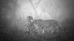Giovani leopardi che giocano a vicenda Fotografia Stock Libera da Diritti