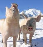 Giovani maiali sulla camminata nelle alpi svizzere Fotografia Stock