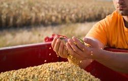 Giovani mani degli agricoltori con i grani del cereale in rimorchio di trattore Fotografia Stock Libera da Diritti