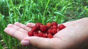 Giovani mani femminili con una manciata di fragole mature Raccolto organico sano nella foresta di autunno video d archivio