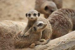 Giovani meerkats Fotografia Stock Libera da Diritti