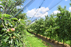 Giovani mele in un frutteto durante la molla Fotografia Stock Libera da Diritti
