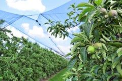 Giovani mele in un frutteto durante la molla Fotografie Stock