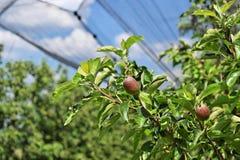 Giovani mele in un frutteto durante la molla Fotografie Stock Libere da Diritti