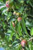 Giovani mele in un frutteto durante la molla Fotografia Stock