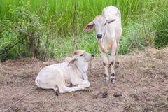 Giovani mucche all'azienda agricola rurale della Tailandia Fotografia Stock Libera da Diritti