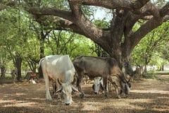 Giovani mucche che mangiano erba asciutta Immagine Stock Libera da Diritti