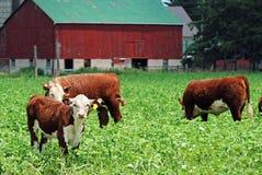 Giovani mucche che pascono Fotografie Stock