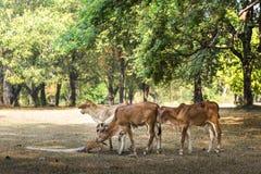 Giovani mucche nel parco nazionale di Sukhothai Immagine Stock