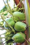 Giovani noci di cocco Fotografia Stock