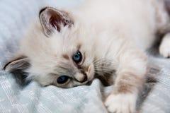 Giovani occhi azzurri del gattino Fotografia Stock Libera da Diritti