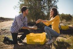 Giovani olive della tenuta delle coppie mentre inginocchiandosi all'azienda agricola Fotografia Stock