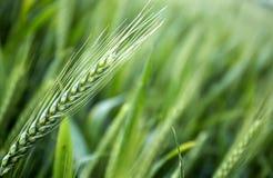 Giovani orecchie del grano nel campo come fondo Fotografia Stock