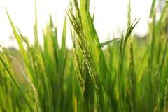 Giovani orecchie del riso nel campo verde Fotografie Stock Libere da Diritti