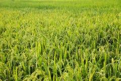 Giovani orecchie del riso nel campo verde Immagine Stock