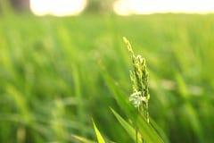 Giovani orecchie del riso nel campo verde Immagini Stock