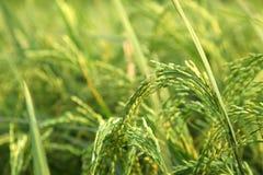 Giovani orecchie del riso nel campo verde Fotografia Stock