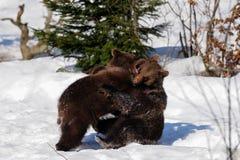 Giovani orsi bruni Fotografia Stock