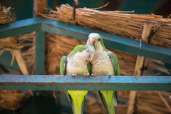 Giovani pappagalli delle coppie Fotografia Stock Libera da Diritti