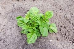 Giovani patate del cespuglio immagine stock