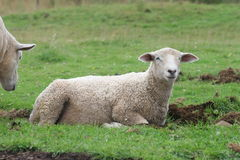 Giovani pecore Fotografie Stock
