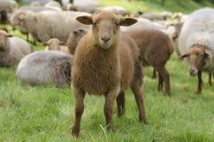 Giovani pecore Fotografia Stock Libera da Diritti
