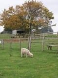 Giovani pecore in azienda agricola che mangiano erba Fotografia Stock