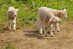 Giovani pecore bianche Immagini Stock