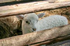 Giovani pecore bianche in una penna di legno fotografia stock