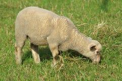 Giovani pecore che mangiano erba Immagini Stock Libere da Diritti