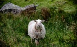 Giovani pecore da solo nel pascolo Immagini Stock Libere da Diritti
