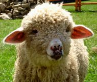 Giovani pecore dell'azienda agricola che sembrano adorabili fotografia stock