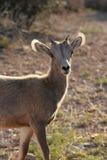 Giovani pecore di bighorn fotografia stock libera da diritti