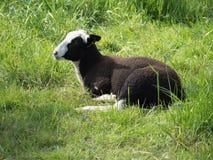 Giovani pecore marroni e bianche che si trovano nell'erba Fotografia Stock