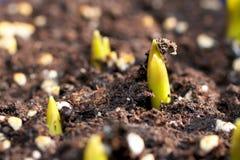Giovani piante dei germogli Fotografia Stock Libera da Diritti