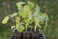 Giovani piante del cetriolino in un seedtray. Fotografia Stock Libera da Diritti