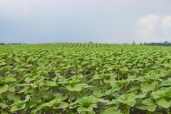 Giovani piante del girasole nel campo con i precedenti di un cielo piovoso fotografie stock