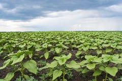 Giovani piante del girasole nel campo con i precedenti di un cielo piovoso con le nuvole Fotografie Stock Libere da Diritti