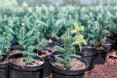 Giovani piante dell'albero di abete in serra fotografie stock