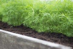 Giovani piante dell'aneto sull'orto domestico Foto del raccolto dell'aneto per l'affare di cucina di eco Fuoco molle selettivo Cu Immagini Stock