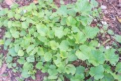 Giovani piante dell'edera del melone Immagini Stock