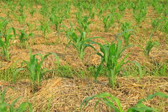 Piante di cereale Immagine Stock Libera da Diritti