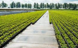 Giovani piante di fragola nelle file Immagine Stock Libera da Diritti
